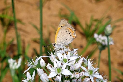 American Copper butterfly (Lycaena phlaeas)