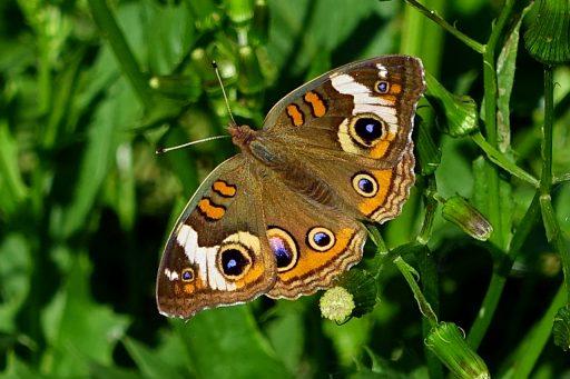 Common Buckeye butterfly (Junonia coenia)